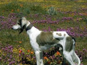 Beamer in the wildflowers
