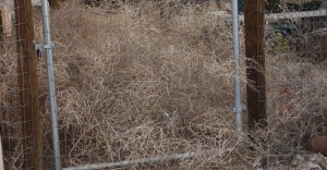 tumbleweeds waiting like commuters at a train gate